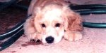 My pet dog, Buddy as a puppy